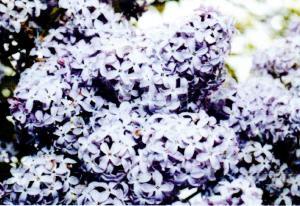 Blog - Lilac Bush