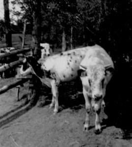 CDG - Paul - Uncle Kenneth Peabody's Bull, Star Prairie, Wisc. - 1934
