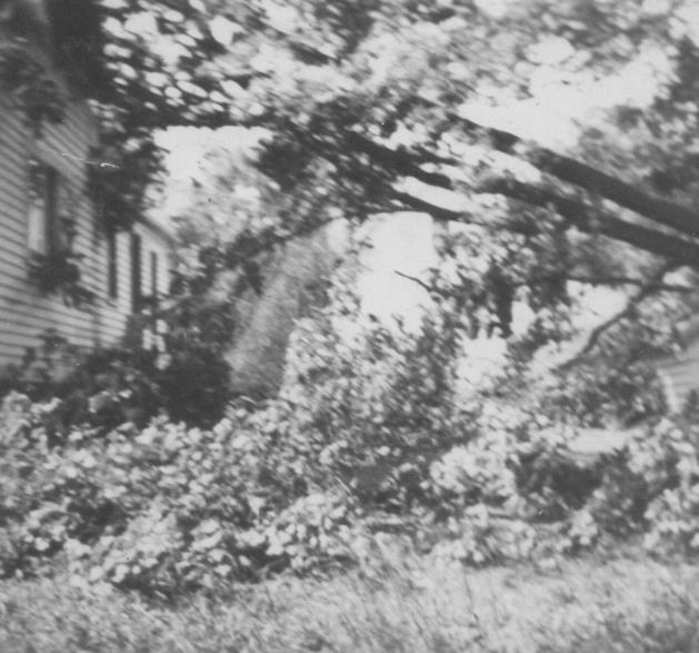 Trumbull House - Maple tree taken down in Hurricane of 1944 - view towards litle drive way